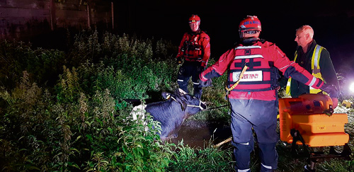 Cow rescued after falling into slurry pit